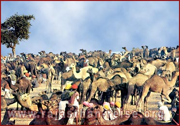 camel fair-Pushkar,  Rajasthan