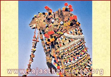 A fully caparisoned camel at Jaisalmer, Rajasthan